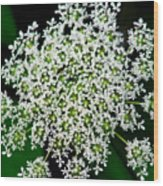 Queens Lace Flower Wood Print