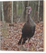 Questioning Wild Turkey Wood Print