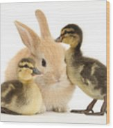 Rabbit And Ducklings Wood Print