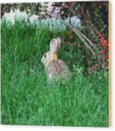 Rabbit Sitting Outdoors. Wood Print