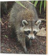 Raccoon Bandit Wood Print