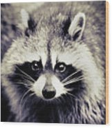 Raccoon Looking At Camera Wood Print