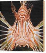 radial Lionfish Pterois radiata Wood Print