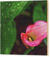 Rain Coated Pink Calla Lily Wood Print