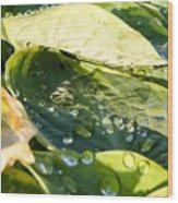 Rain Collecting On Hosta Leaves Wood Print