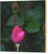 Rain Covered Pink Rose And Buds Wood Print