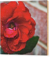 Rain Covered Red Rose Wood Print