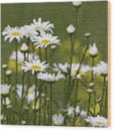Rain Drops On Daisies Wood Print