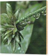 Rain On The Umbrella Plant 2 Wood Print