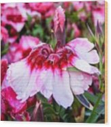 Rain Soaked Dianthus Wood Print