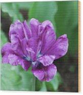 Raindrops Clinging To The Purple Petals Of A Tulip Wood Print
