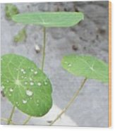 Raindrops On A Nasturtium Leaf Wood Print