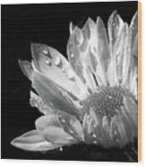 Raindrops On Daisy Black And White Wood Print