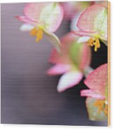 Raindrops On Rare Begoinia Blooms In Macro Wood Print