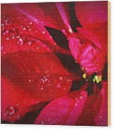 Raindrops On Red Poinsettia Wood Print