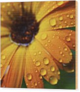 Rainy Day Daisy Wood Print by Thomas R Fletcher