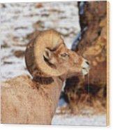 Ram Drool Wood Print