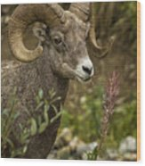 Ram Eating Fireweed Cropped Wood Print