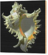 Rams Horn Seashell Murex Ramosus Wood Print