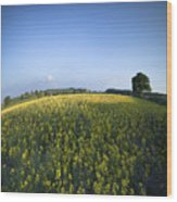 Rapeseed Blossom Wood Print