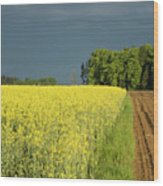 Rapeseed Field With Storm Clouds In Background Wood Print