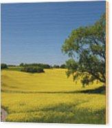 Rapeseed Field,west Sussex, England  Wood Print