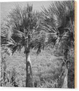 Rare Palm Trees Curacao Wood Print