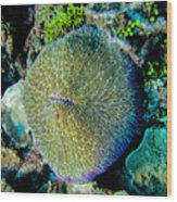 Razor Coral At Pakin Atoll Wood Print