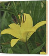 Really Beautiful Yellow Lily Growing In Nature Wood Print