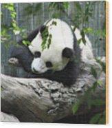 Really Cute Panda Bear Sleeping On A Log Wood Print