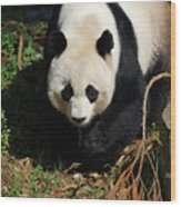 Really Sweet Giant Panda Bear Waddling Around Wood Print