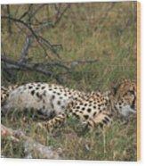 Reclining Cheetah Watching Wood Print