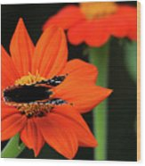 Red Admiral Nectaring On Tithonia Wood Print
