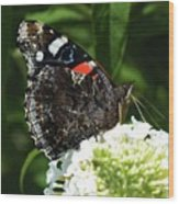 Red Admiral - Underside Wood Print