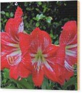 Red Amaryllis Trio Wood Print