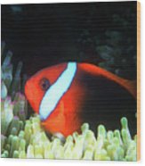 Red And Black Anemonefish, Great Barrier Reef Wood Print