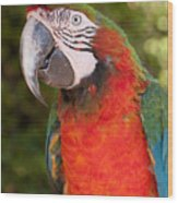 Red-and-green Macaw Wood Print