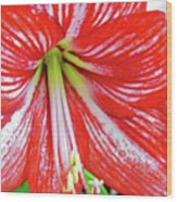 Red And White Beauty Wood Print