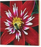 Red And White Flower With Bee Wood Print