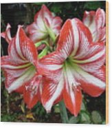 Red And White Lilies Wood Print by Gregory Young