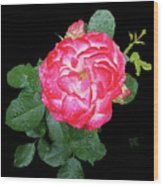 Red And White Rose In Rain Wood Print