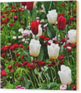 Red And White Tulips With Red And Pink English Daisies In Spring Wood Print