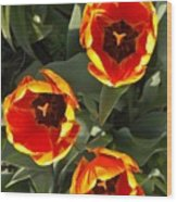 Red And Yellow Tulip Trio    Spring  Indiana Wood Print