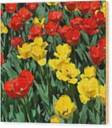 Red And Yellow Tulips  Naperville Illinois Wood Print