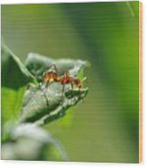Red Ant On Leaf Wood Print
