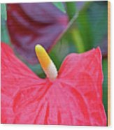 Red Anthurium Flower Wood Print