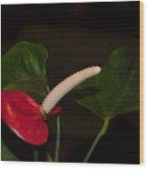 Red Anturium Wood Print