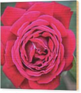 Red As A Rose  Wood Print