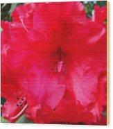 Red Azaleas Flowers 4 Red Azalea Garden Giclee Art Prints Baslee Troutman Wood Print