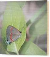 Red-banded Hairstreak Butterfly Wood Print